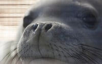 An endangered Hawaiian monk seal looks out from her container as she is transported from Hawaii's Big Island to Honolulu, Thursday, April 14, 2016 in Kailua-Kona, Hawaii. Seven seals were found either abandoned or malnourished and were rescued by federal officials and then rehabilitated at a marine mammal hospital on the Big Island. The Coast Guard picked them up and flew them back to Honolulu Thursday for the first leg of their trip back to their native Northwestern Hawaiian Islands. (AP Photo/Caleb Jones)