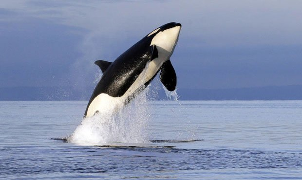 orca, Southern Resident...