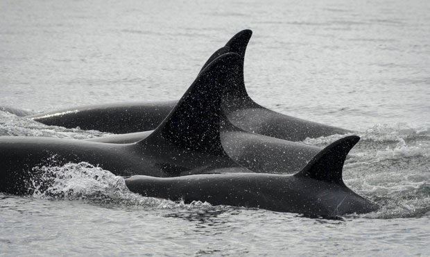 Southern resident orcas