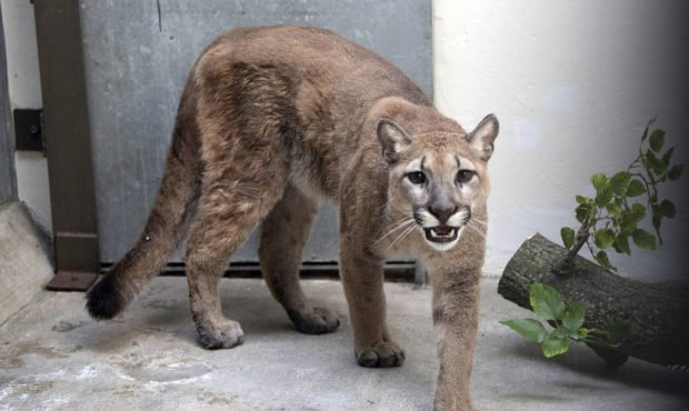 This photo provided by New York's Bronx Zoo shows an 11-month-old, 80-pound cougar that was removed...