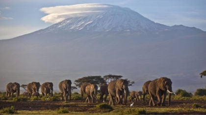 FILE - In this Monday, Dec. 17, 2012 file photo, a herd of adult and baby elephants walks in the da...