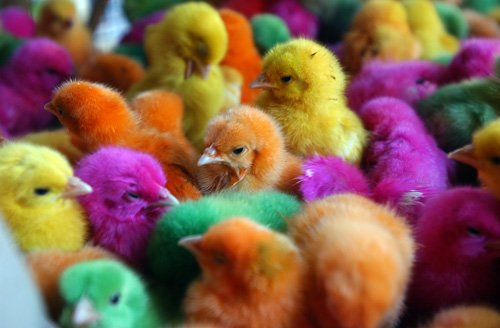Do people really dye baby chicks for Easter?